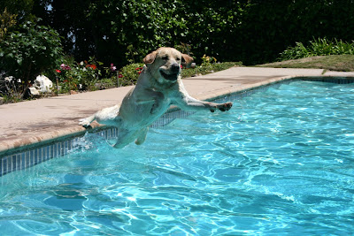 Comedy pool Labrador Cooper