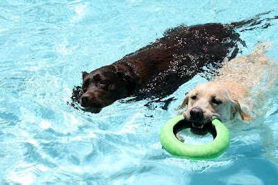 Swimming pool Labradors