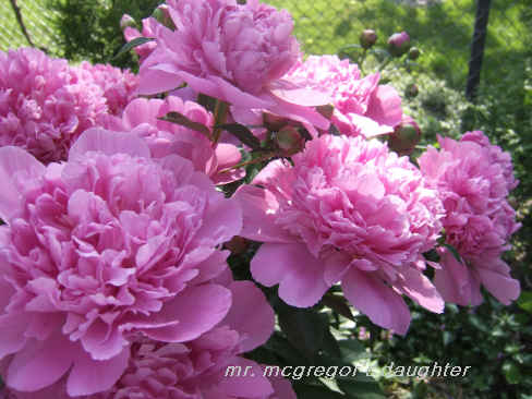 The Pink Peony Mystery