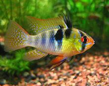Aquarium Lore Ram Cichlid