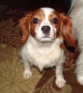 Precious Cavaliers Small Dog Rescue: Ellie Mae - Rescued ... - photo#15