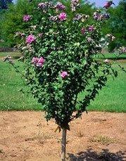 Gardening Goos Rose Of Sharon