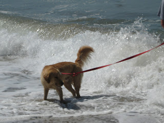 Golden retriever in the surf