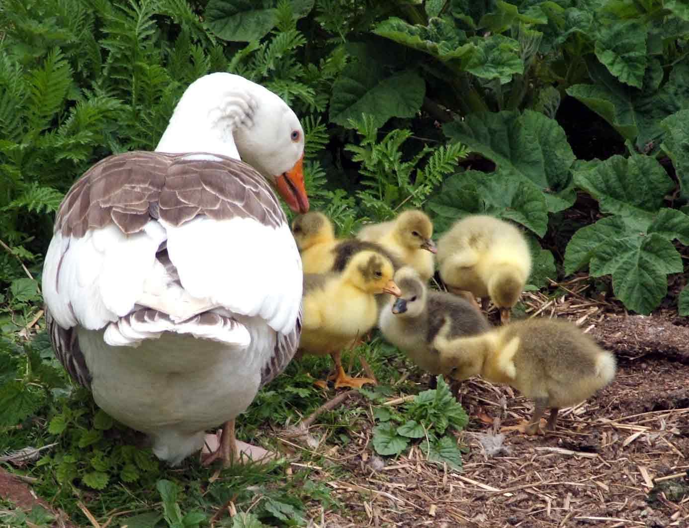 [Lola-and-her-goslings.jpg]