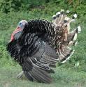 Ayam Piru / Belanda