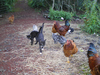 Chickens are an important part of this permaculture property in Hawaii