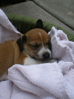 an injured puppy in a towel;  gaining insight into animal rights in Hawaii