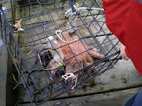 a huge starfish in a crab trap in Ucluelet