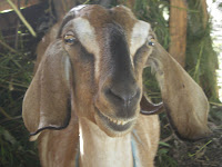 smiling goat in Hawaii