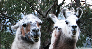 """llamas grinning in Australia, as if to say """"she'll be right mate""""!"""