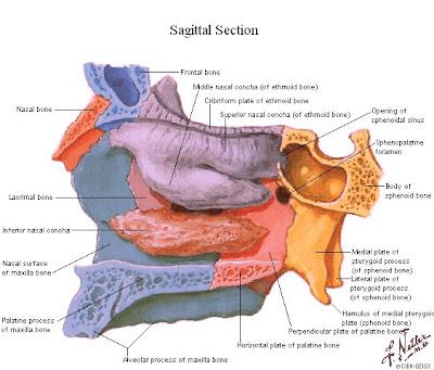 Tu preparador de anatom a fosa orbitaria nasal y for Pared lateral de la cavidad nasal