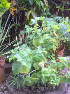 big leaf thyme