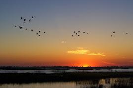 Aves acuáticas en el entorno de Isla Mayor
