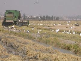 Recolección de arroz