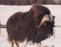 Musk Ox in Alaska