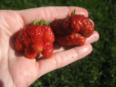Mutant Alaskan Strawberries
