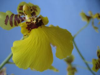 How to Grow Orchids-Oncidium
