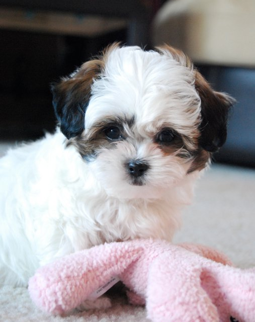miniature shih tzu full grown shih tzu poodle full grown 8822