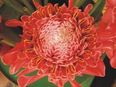 flor bastão do imperador