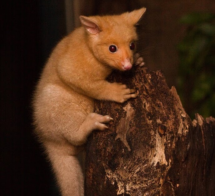 adorable golden brushtail possum - 689×630