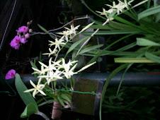 Orquídeas Rosa e Estrela