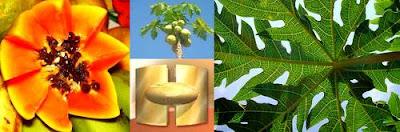 Chá da folha do mamão papaya serve para combater o câncer.