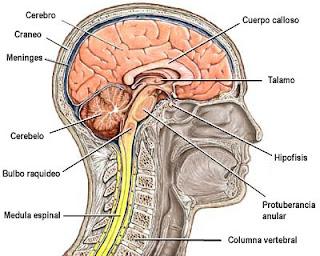 Médicos Del Futuro Comisuras Cerebrales Y Configuración