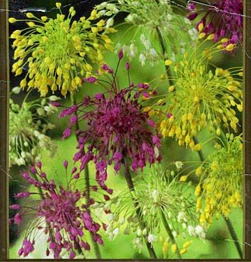 High Altitude Gardening Firecracker Flower Bulbs