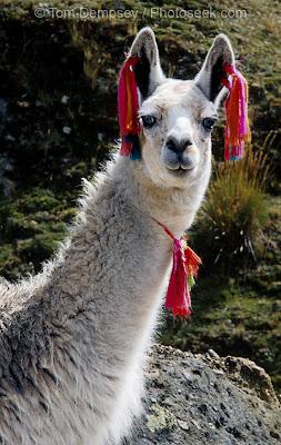 Llama 32 acp - JungleKey fr Image #350