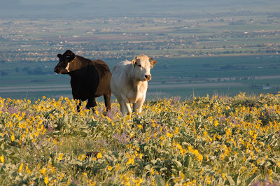 Cows love flowers too
