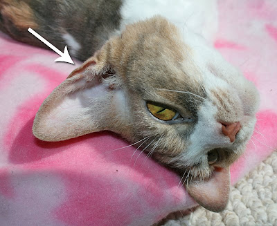 Картинки по запросу cat ear henry's pocket