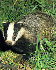 Badgers live on both sides of the river