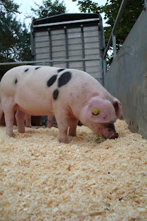 A pig at the Autumn Festival