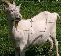 One of Streamvale's goats
