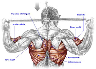 lat pulldown machine muscles worked
