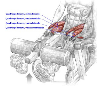 Muscles in leg extension