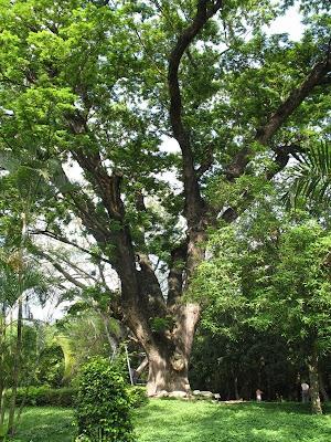 狂戀府城: 公園裡的雨豆樹