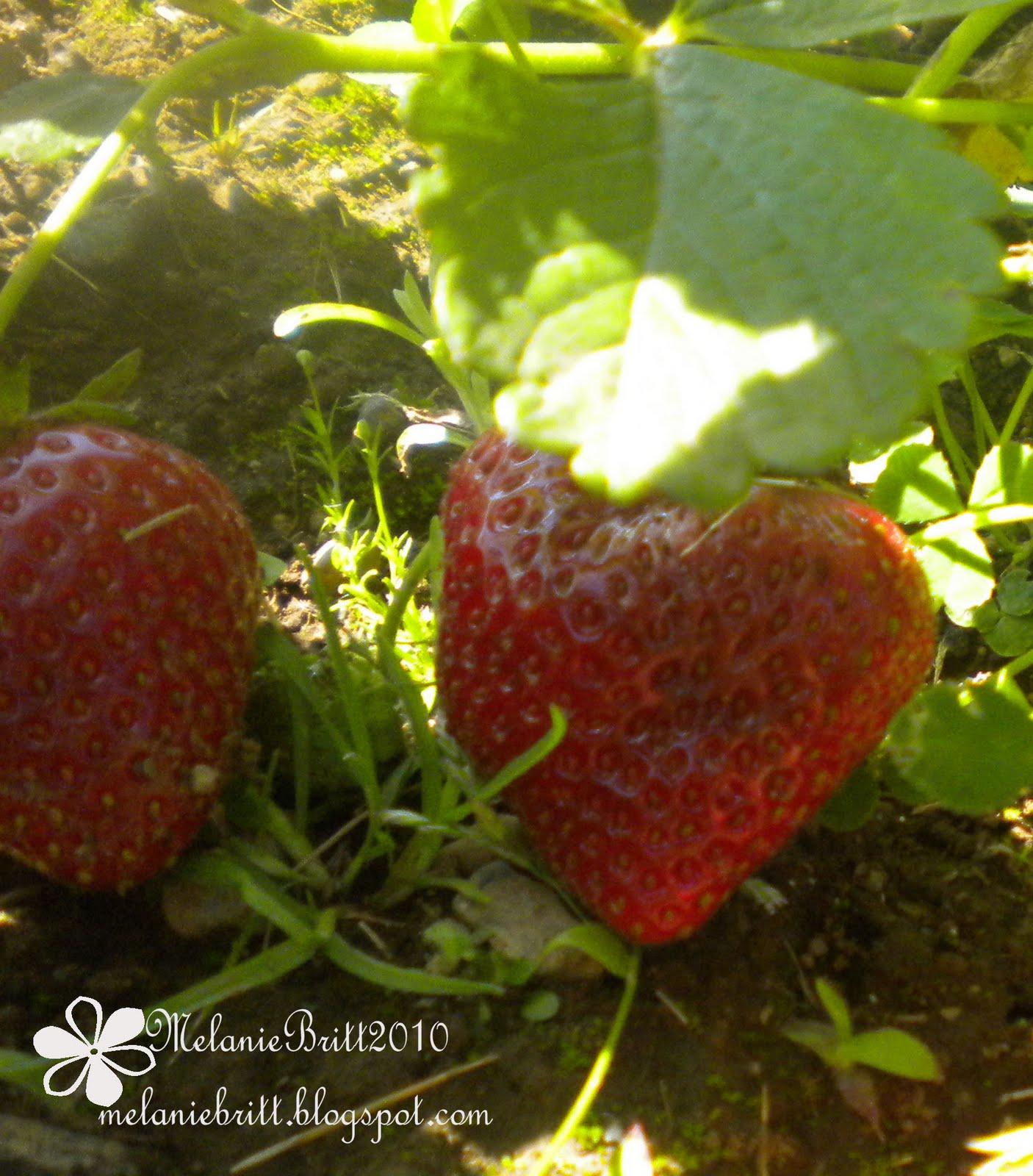 Melanie Britt | embrace.lifes.journey.: Garden Fresh Strawberries ...