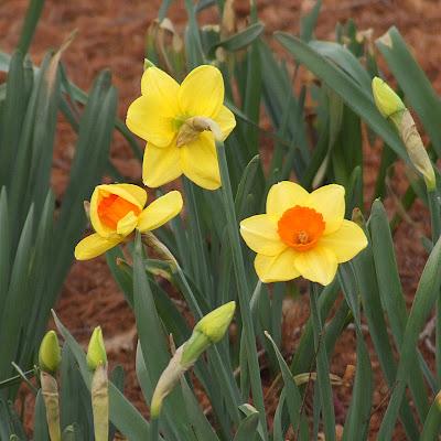 Missouri Botanical (Shaw's) Garden, in Saint Louis, Missouri, USA - daffodils