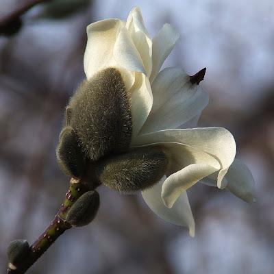 Missouri Botanical (Shaw's) Garden, in Saint Louis, Missouri, USA - magnolia flower