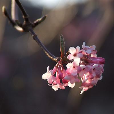 Missouri Botanical (Shaw's) Garden, in Saint Louis, Missouri, USA - pink blossoms