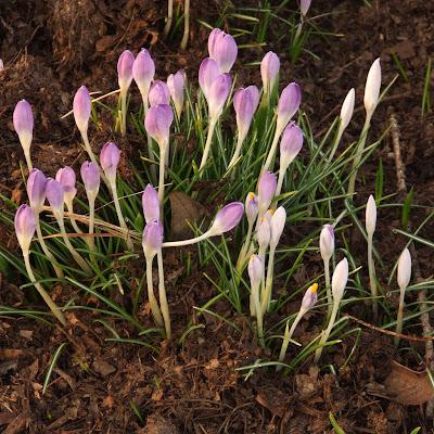 Missouri Botanical (Shaw's) Garden, in Saint Louis, Missouri, USA - white and purple crocus