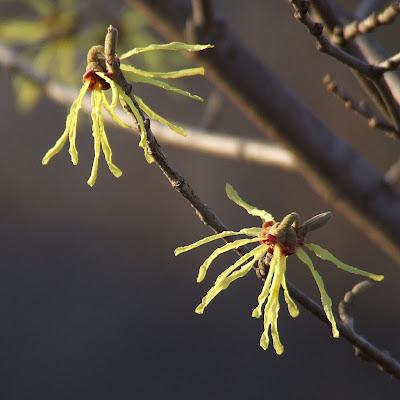 Missouri Botanical (Shaw's) Garden, in Saint Louis, Missouri, USA - yellow witch hazel flowers