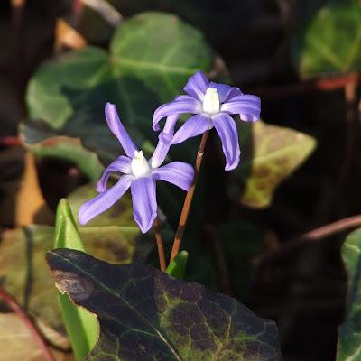 Missouri Botanical (Shaw's) Garden, in Saint Louis, Missouri, USA - scilia flower