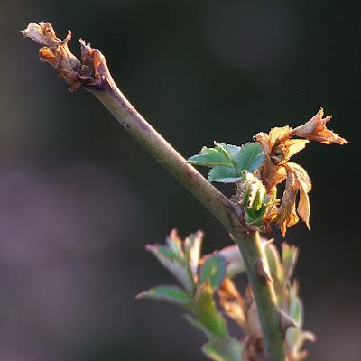 Missouri Botanical (Shaw's) Garden, in Saint Louis, Missouri, USA - shrub rose twig