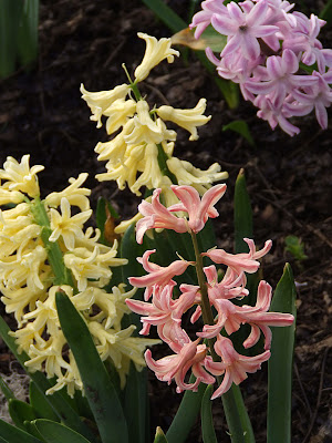 Missouri Botanical (Shaw's) Garden, in Saint Louis, Missouri, USA - spring flower