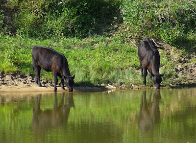Bourbeuse River, near+Moselle, Franklin County, Missouri - two cows drinking from the river