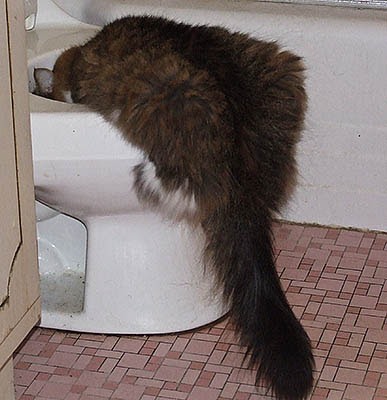 cat drinking from toilet