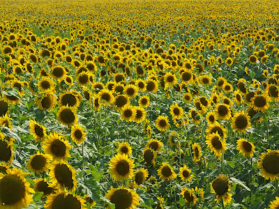 Sunflowers, near Pacific, Missouri