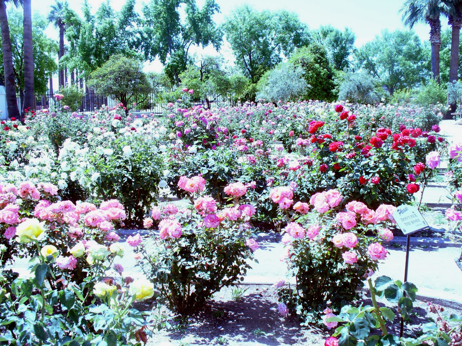 Roses In Garden: Historic Sahuaro Ranch Park